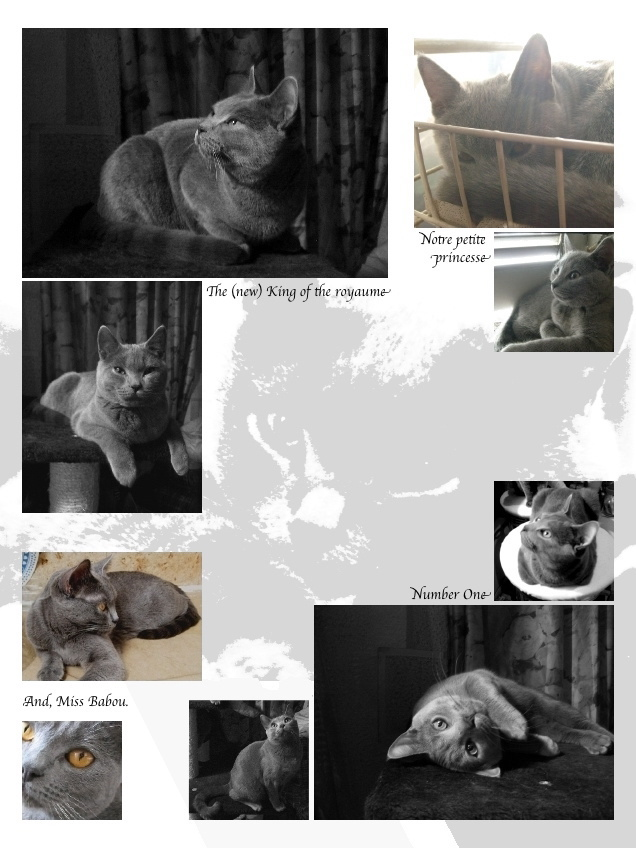 Chartreux cats, my family, end of 2007: Cozy, Coco and Classy Des Bab'Odoux Leoun - And miss Babou