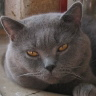 Chartreux cat: CARTOONLAND'S LEON